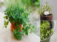 Saksijsko uzgajanje bilja: origano