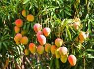 6 neverovatnih razloga zbog kojih bi trebalo redovnije da jedete mango