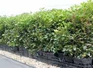 Saksijsko uzgajanje bilja: lovor