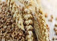 Tritikale – hibrid pšenice bogat manganom