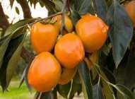 """Japanska jabuka – """"plod bogova"""""""