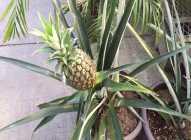 Saveti za jednostavno uzgajanje ananasa
