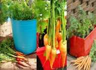 Saksijsko uzgajanje šargarepa