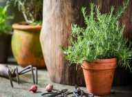 Saksijsko uzgajanje bilja: ruzmarin