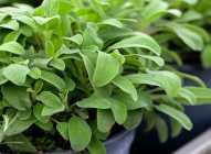 Saksijsko uzgajanje bilja: žalfija