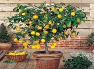 Saksijsko uzgajanje bilja: limun